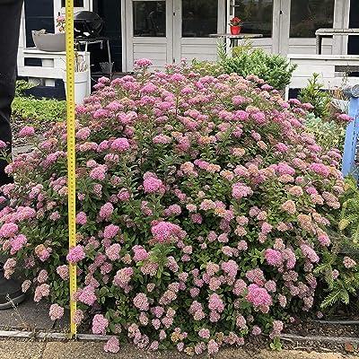 """Van Zyverden 82915 Spiraea Poprocks Petite 4"""" Potted Rocketliners, Live Dormant Plant, Candy Pink : Garden & Outdoor"""