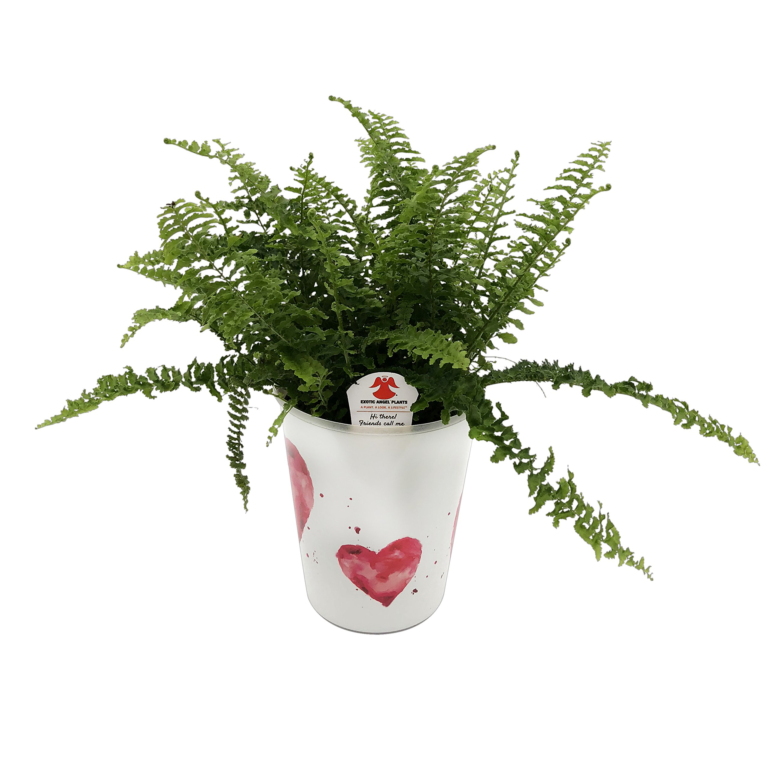 Costa Farms WaterWick Self-Watering Heart Design Planter w/ Premium Exotic Angel Live Indoor Love Fern Plant, 4.8-Inch Pot