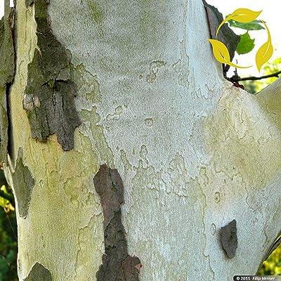 London Plane, Hybrid Plane Tree Platanus Acerifolia - 50+ Seeds : Garden & Outdoor