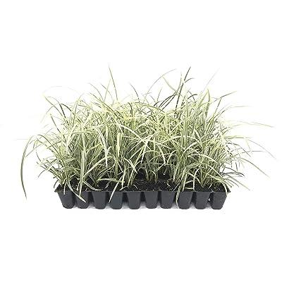 Aztec Grass - 15 Live Plants - Variegated Liriope Ophiopogon Intermedius Argenteomarginatus Evergreen Ground Cover : Garden & Outdoor
