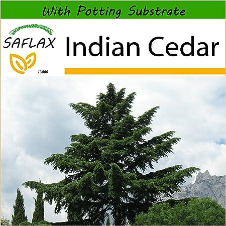 Cedrus deodara DEODARS // cèdre indien graines