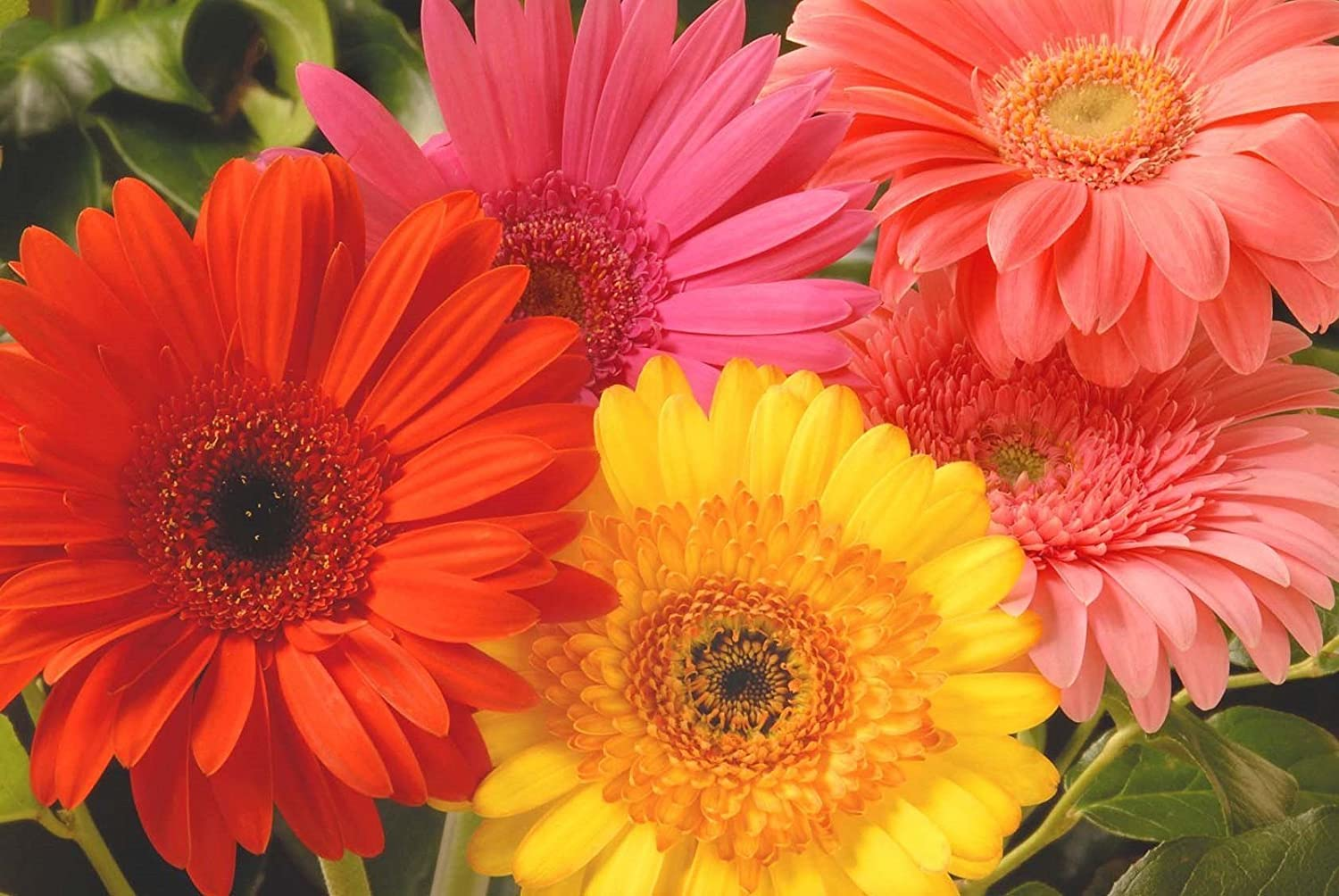 Amazon gerbera daisy seeds giant hybrid mix garden outdoor izmirmasajfo