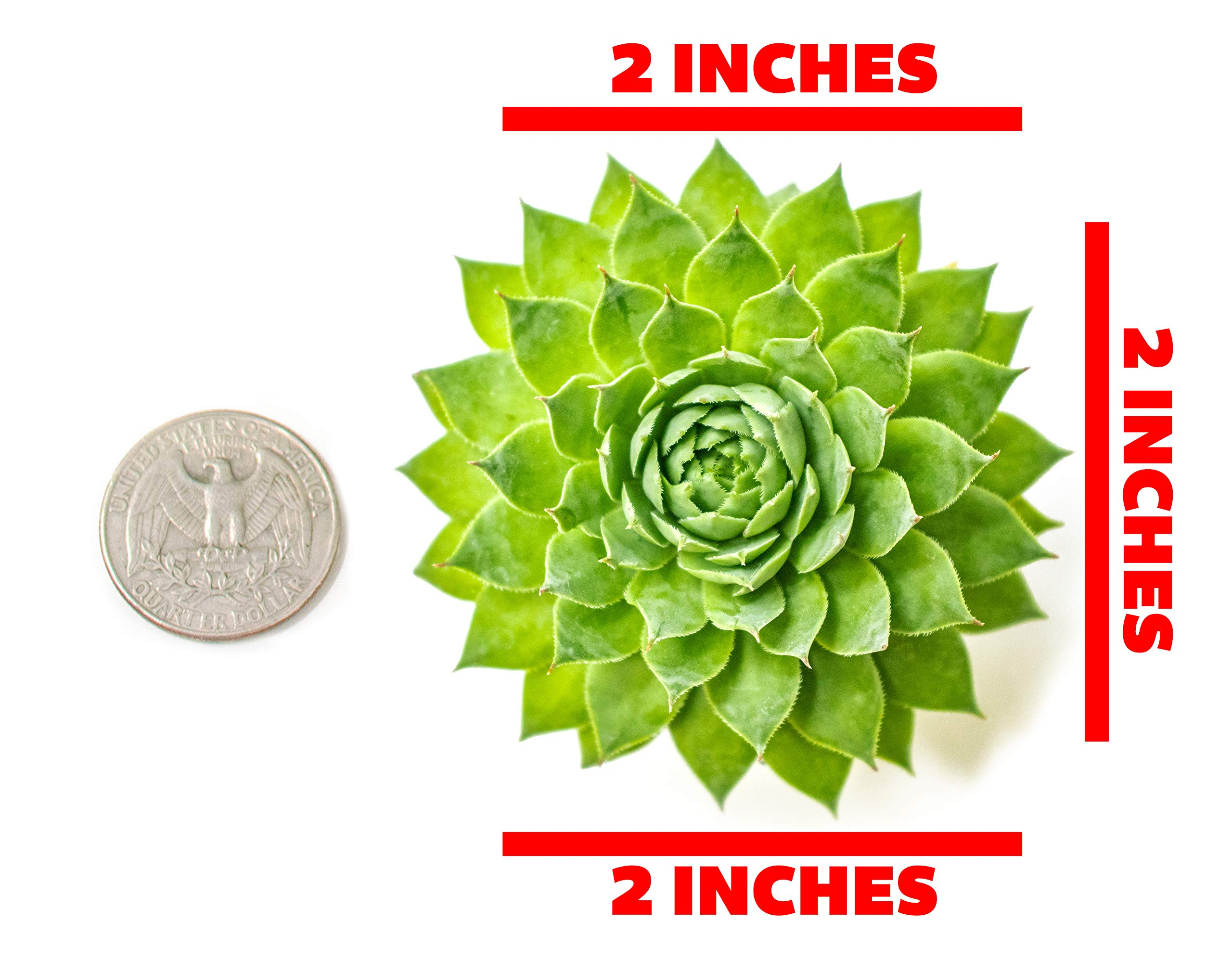 Fractal Succulents(5 Pack) Live Sempervivum Houseleek SucculentRooted in Pots | Flowering Plant Leaves /Geometric Rosettes by Plants for Pets by Plants for Pets (Image #2)