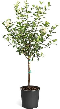 Amazon Com Brighter Blooms Double Blooming Gardenia Tree 3 4 Feet No Shipping To Az Garden Outdoor