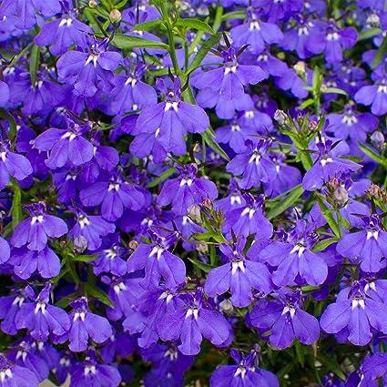 Amazoncom Lobelia Flower Garden Seeds Palace Series Blue