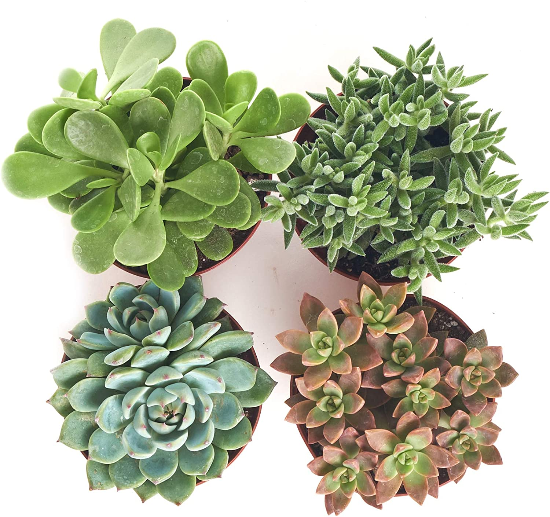 10 Assorted Variety Sedum Cuttings succulent for terrariums /& fairy gardens