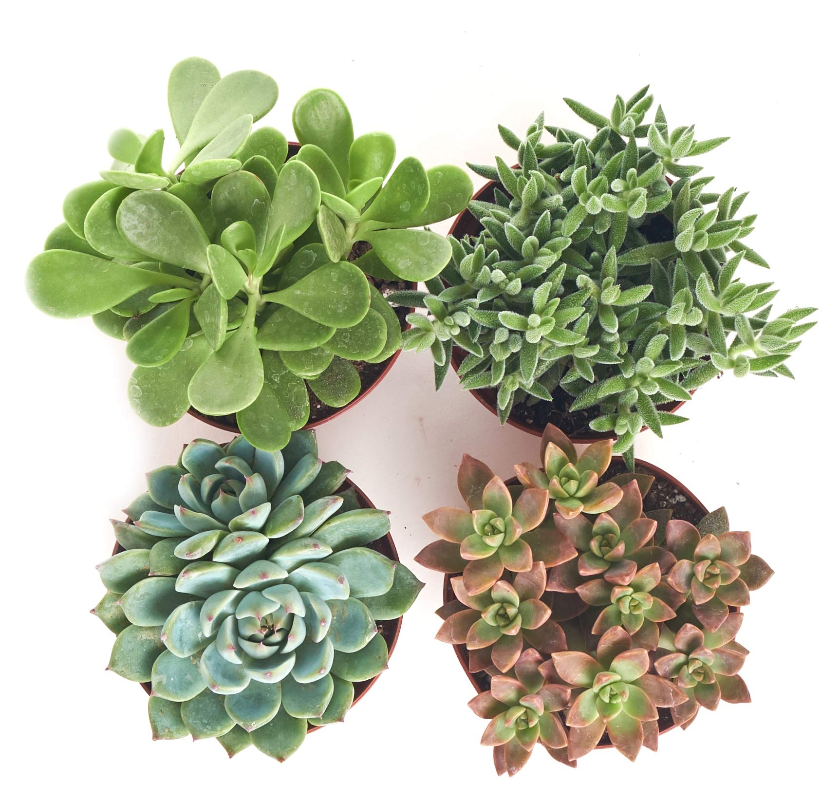 Shop Succulents | Assorted Collection of Live Succulent Plants, Hand Selected Variety Pack of Succulents | Collection of 4 by Shop Succulents