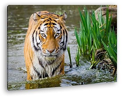 anmutiger Tiger en el agua como Lienzo, diseño enmarcado en ...