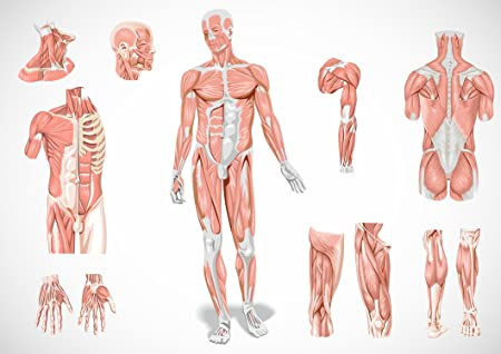 SonicPrint Human Body Muscular System Educational Poster. Many ...