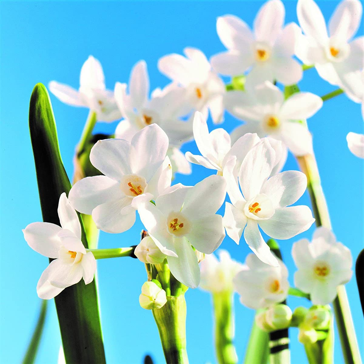 Narcissus Ziva Paperwhites - 20 bulbs - 17+ cm | Ships from Easy to Grow TM