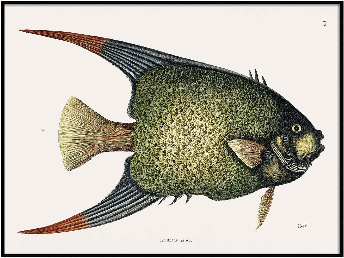 Angel Fish Antique Print Illustration, Vintage Poster, Fishing Wall Art Decor, an Acarauna, deep Water Fish, Fishing Wall Decor | C226 8.5x11