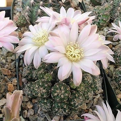 Gymnocalycium bruchii Cactus Cacti Succulent Real Live Plant : Garden & Outdoor