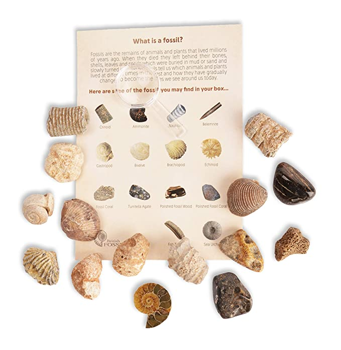 Fossil Collection Kit - Contains 15 Genuine Fossil Specimens - Millions of  Years Old - Great Educational Kit! (Fossil Collection Kit)