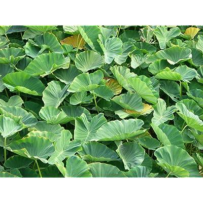 Elephant Ear Bulbs, 5 large Taro Jacks Giant. : Succulent Plants : Garden & Outdoor