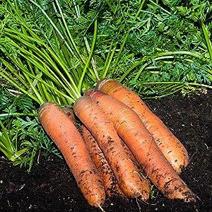 Scarlet Nantes Carrot Seeds - 1 Lb ~320,000 Seeds - Non-GMO, Heirloom Vegetable Garden Seeds, Gardening, Microgreens