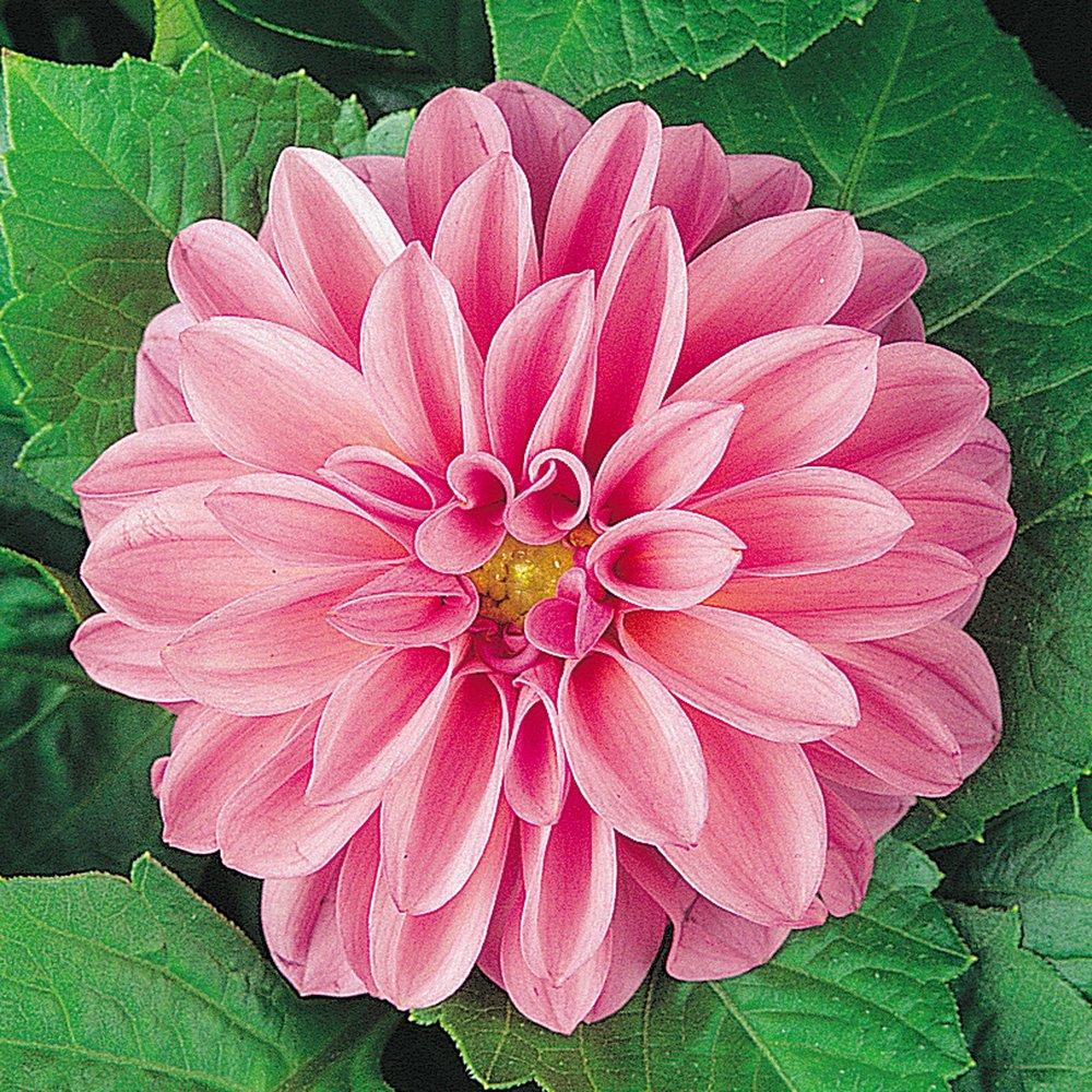 6 Premium Plug Plants Dahlia Dahlietta Julia Plant Me Now 1231243