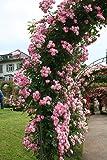 Rose Raubritter (im grossen Container) - Kräftig entwickelte Pflanze im 6lt-Topf