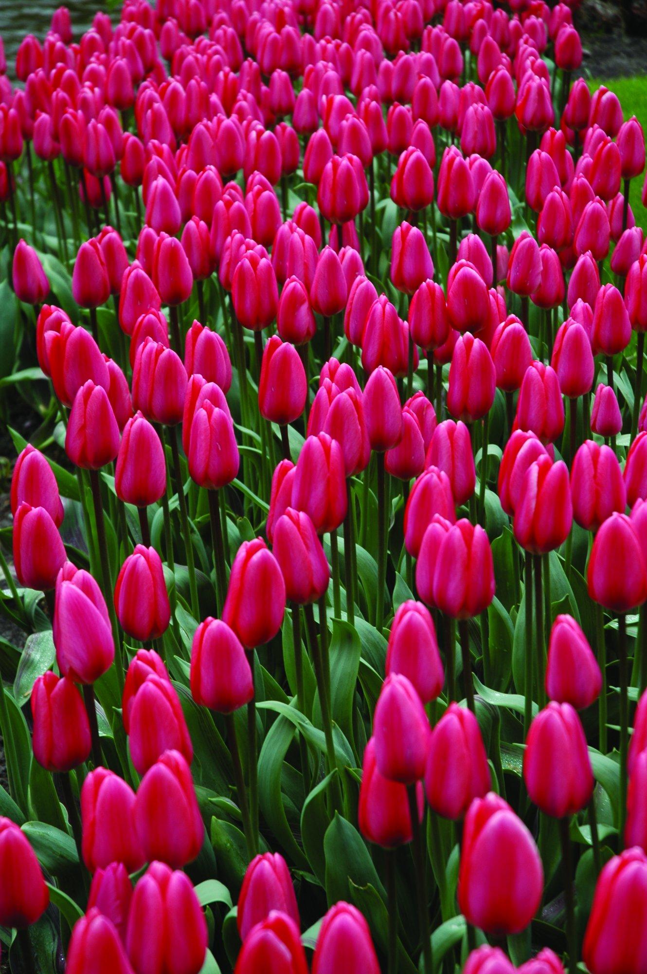Burpee's Cosmopolitan Tulip - 10 Flower Bulbs   Light Pink   12 - 14cm Bulb Diameter