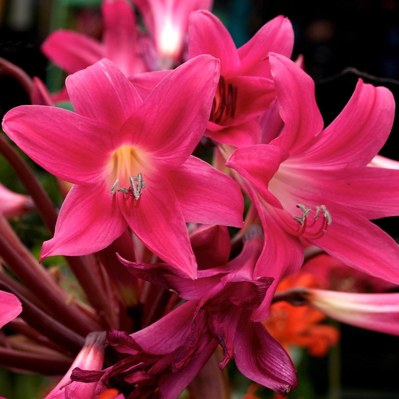 UtopiaSeeds Rose Pink Amaryllis Belladonna Bulbs - 3 Large Bulbs - Rare Color