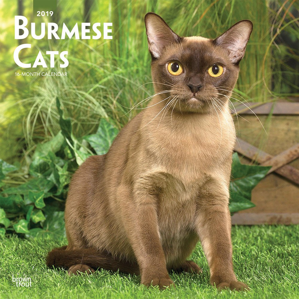 Burmese Cats 2019 12 x 12 Inch Monthly Square Wall Calendar, Animals Cats Burmese