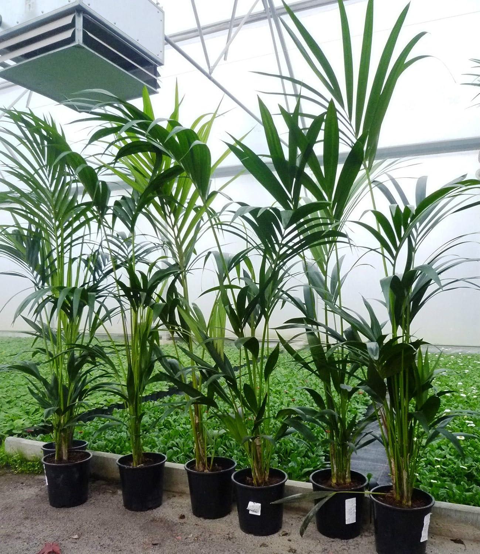 Kentia Palme 130/140 cm Howea Forsteriana Zimmerpflazne Palme