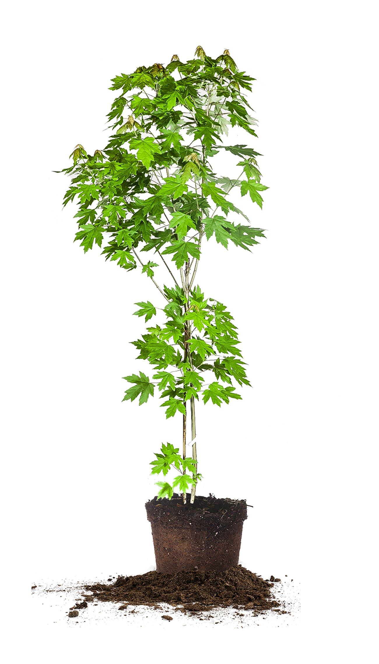 AUTUMN BLAZE MAPLE - Size: 5-6 ft, live plant, includes special blend fertilizer & planting guide