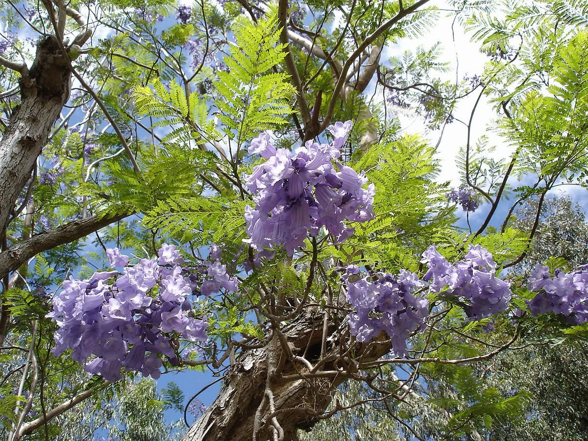 250 Semillas de Jacaranda mimosifolia Jacarand/á palisandro, jacaranda tarco Asklepios-seeds/®