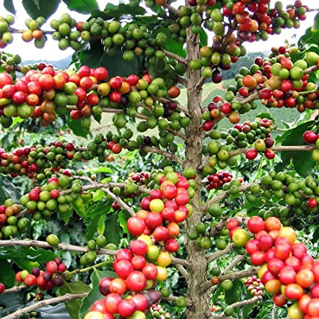 Amazon Com Hirt S Arabica Coffee Bean Plant 3 Pot Grow Brew Your Own Coffee Beans Tree Plants Garden