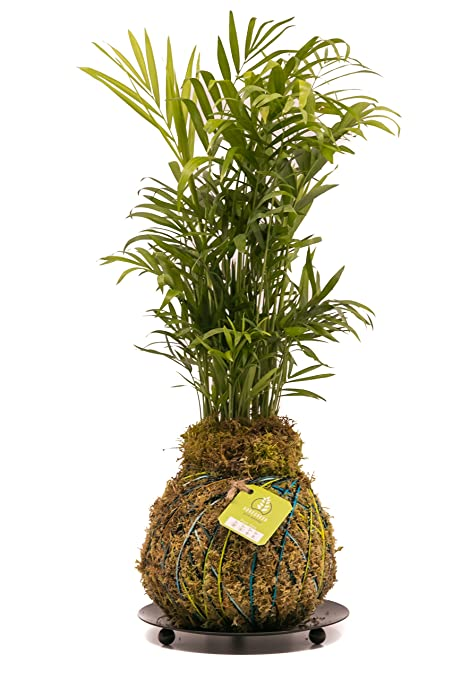 Review KOKEDAMA INDOOR PLANT (BLUE,