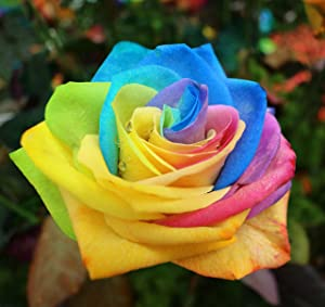 30 Pcs Rainbow Rose Seeds Flower Bush Perennial Shrub Garden Home Exotic Garden
