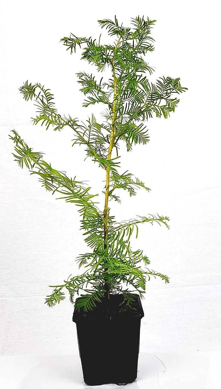 Seedeo® Urwelt-Mammutbaum (Metasequoia glyptostroboides) Pflanze 3 Jahre