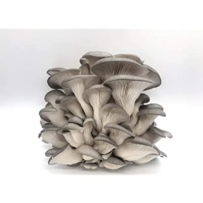 100 Grey Oyster Mushroom Spawn Plugs/Dowels to Inoculate Logs or Stumps to Grow Gourmet and Medicinal Mushrooms - Grown Your Own Mushrooms for Years to Come - Makes a Perfect Gift or a Project : Garden & Outdoor