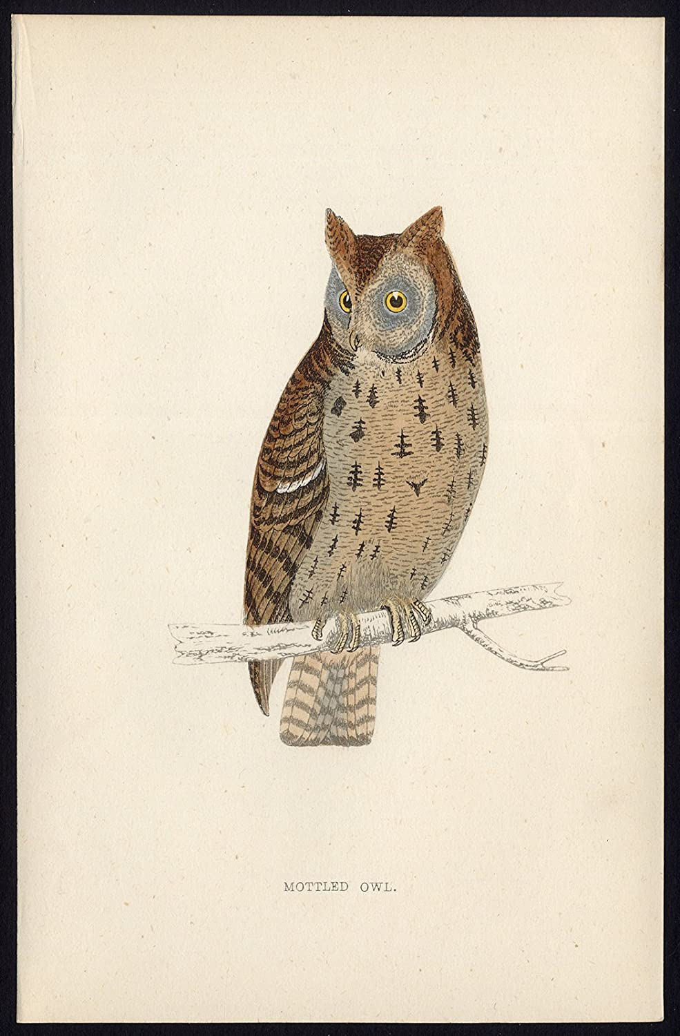 Antique Print-MOTTLED OWL-STRIX VIRGATA-BIRD OF PREY-Morris-1850 ThePrintsCollector