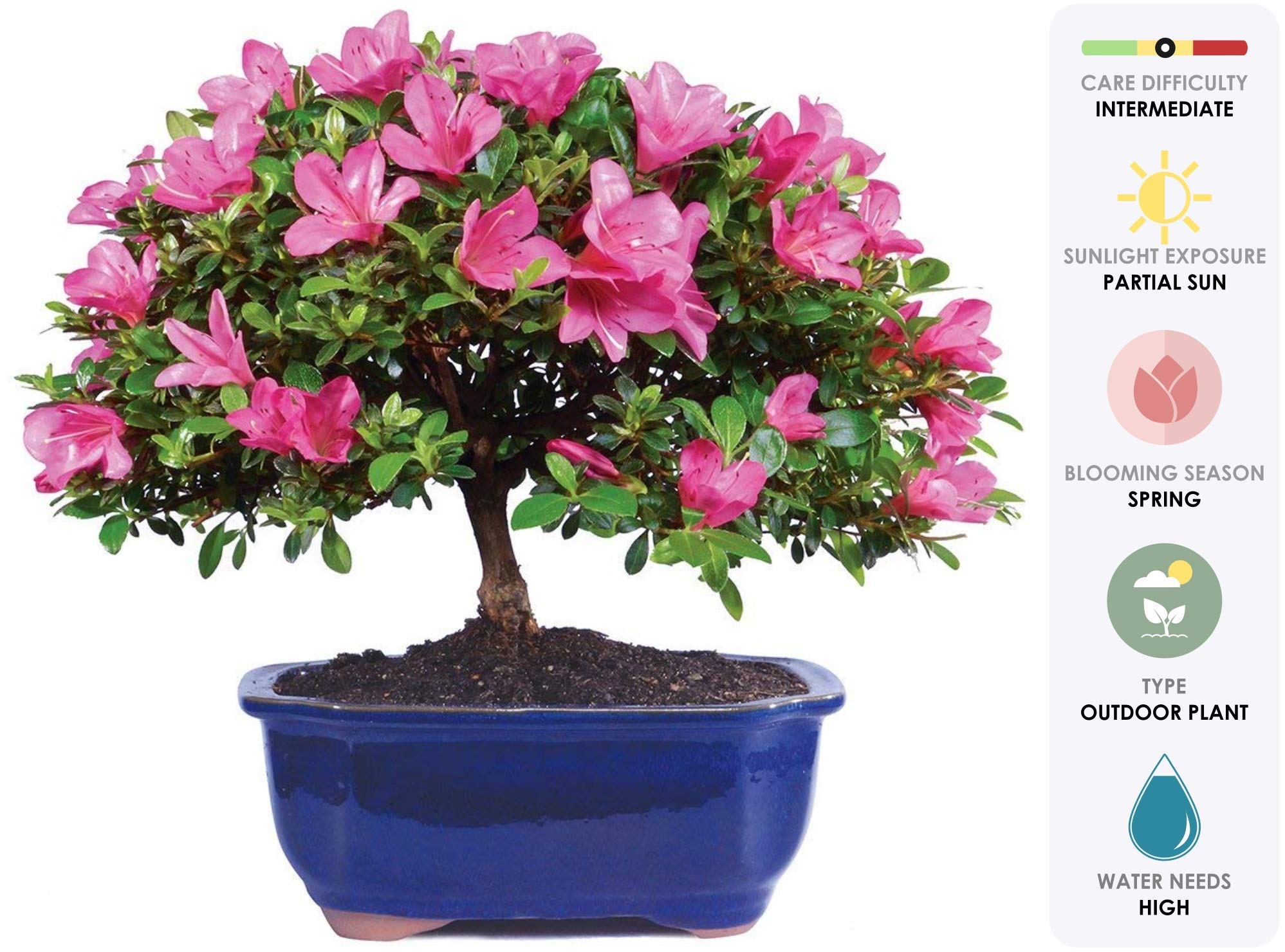 Brussel's Live Satsuki Azalea Outdoor Bonsai Tree - 8 Years Old; 12'' to 14'' Tall with Decorative Container by Brussel's Bonsai