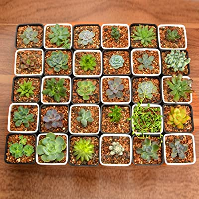 "GOODEF 20pcs Gorgeous Different Succulent Plants with 2"" Plastic Pots and Soil, No Two Alike : Garden & Outdoor"