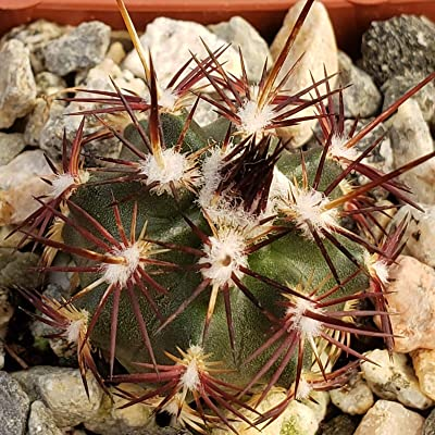 Echinocereus viridiflorus davisii Cactus Cacti Succulent Real Live Plant : Garden & Outdoor