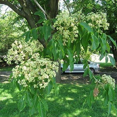 BEE Tree Evodia Hupehensis 25, 50, 100, 200 Seeds : Garden & Outdoor