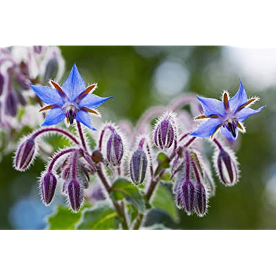Sweet Yards Seed Co. Borage Seeds – Extra Large Packet – Over 1, 200 Open Pollinated Non-GMO Wildflower Seeds – Borago officianalis : Garden & Outdoor