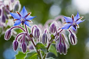 Sweet Yards Seed Co. Borage Seeds – Extra Large Packet – Over 1,200 Open Pollinated Non-GMO Wildflower Seeds – Borago officianalis