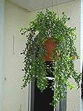künstliche Blumen Ampel,ficushänger 60 cm.
