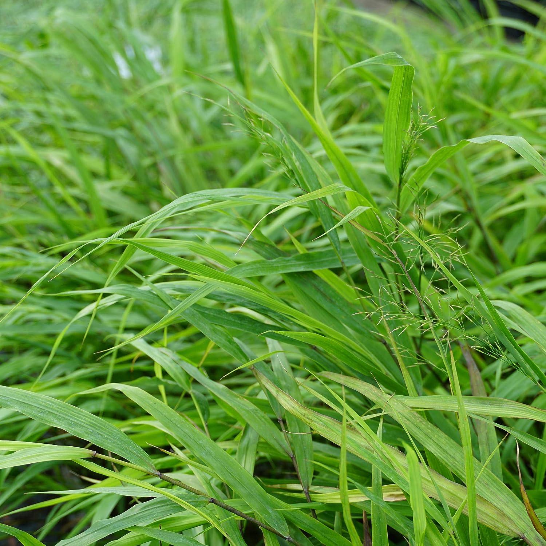 Japanwaldgras gr/ünlich Blumixx Stauden Hakonechloa macra