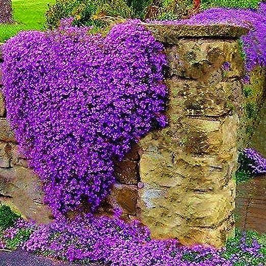Masoke SemillaCasa - 100 Piezas Semillas Trepadoras Jardines Semillas de Flores Hardy Perenne para Piedra, Pared, Ventana, Terraza, Balcón (# 5): Amazon.es: Jardín