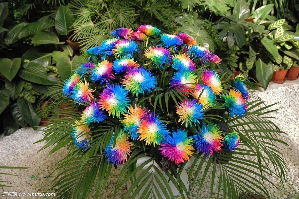 Ornamental Plant for The Garden 10//20//50//100 Seeds//Pack KEPTEI Garden Chrysanthemum Seeds Rainbow Chrysanthemum Colorful Flower Seeds