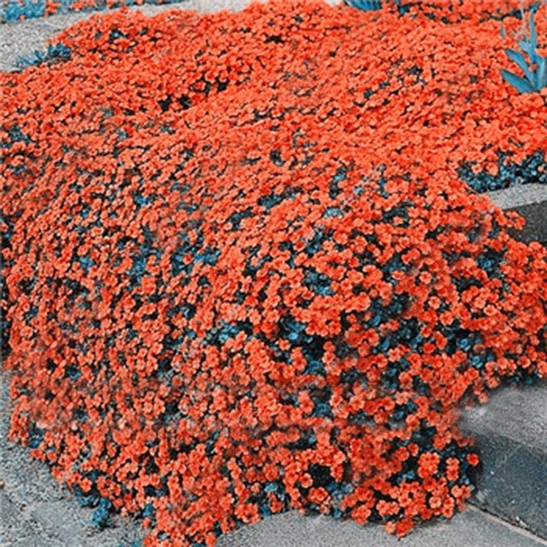 100pcs Rock Cress Seeds Garden Creeping Thyme Perennial Flower Plant Seeds Flowers (Orange)