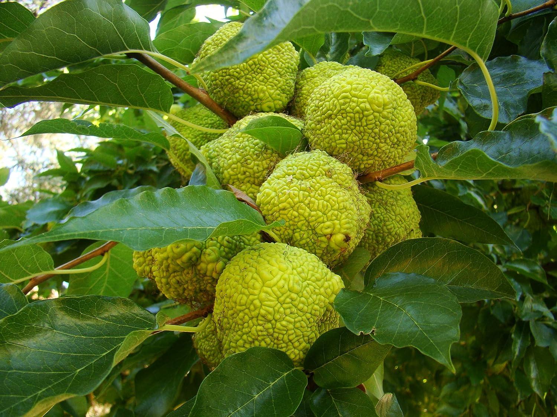 MACLURA POMIFERA Glossy Foliage Thorny Tree Showy Fruits Hedge Shrub Monkey Ball 60-80cm Tall