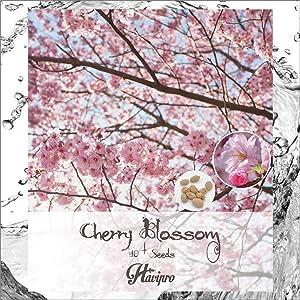 HAVIPRO - Japanese Cherry Blossom Sakura Seeds - 10+ Seeds Cherry Prunus Serrulata Flower Seed for Planting - Non GMO - DIY Bonsai Home Garden Yard Decor Seed (10)