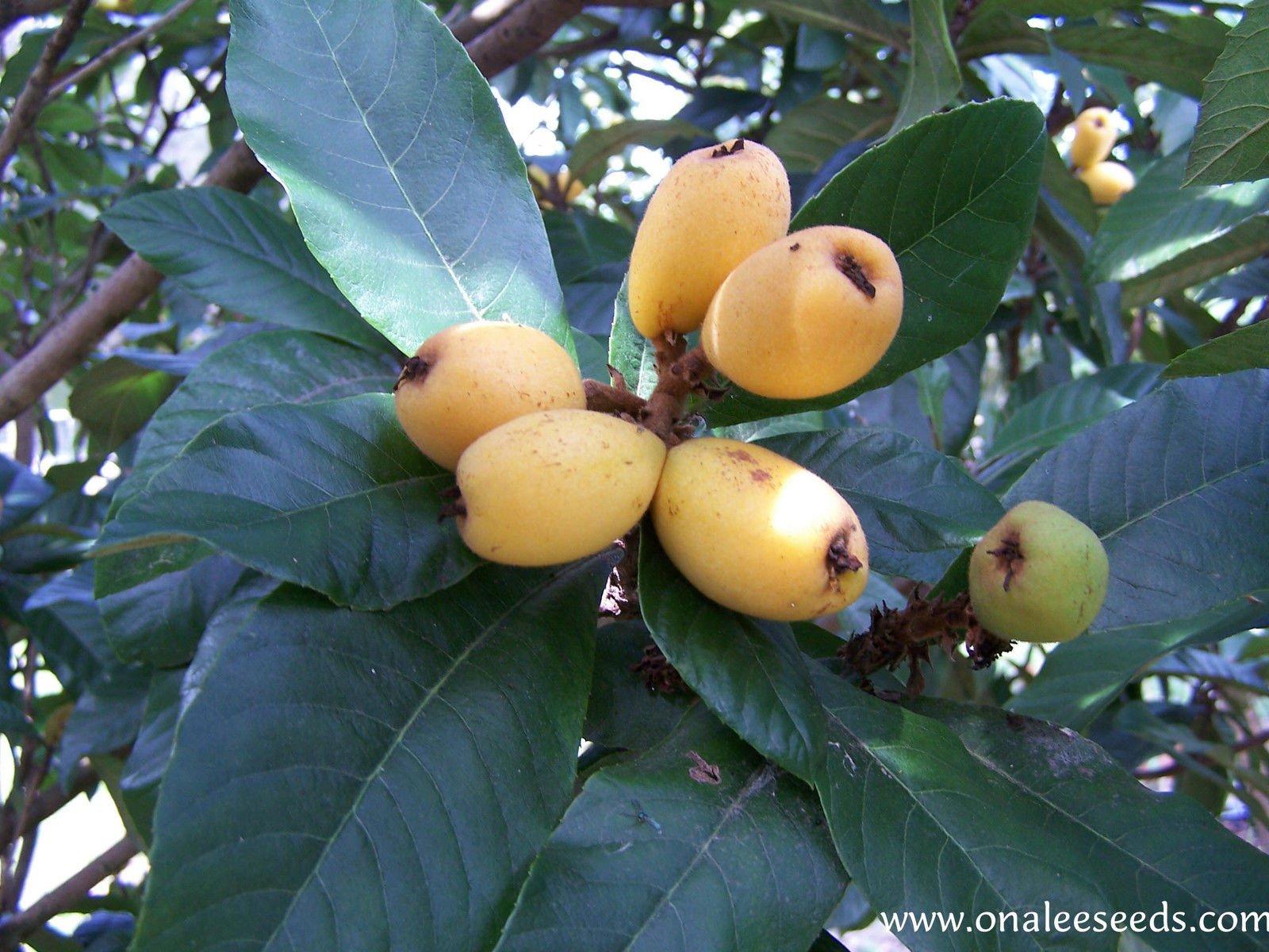 5 Fresh Loquat Seeds, Japanese Plum Tree, Tropical Fruit, Eriobotrya Japonica Seeds