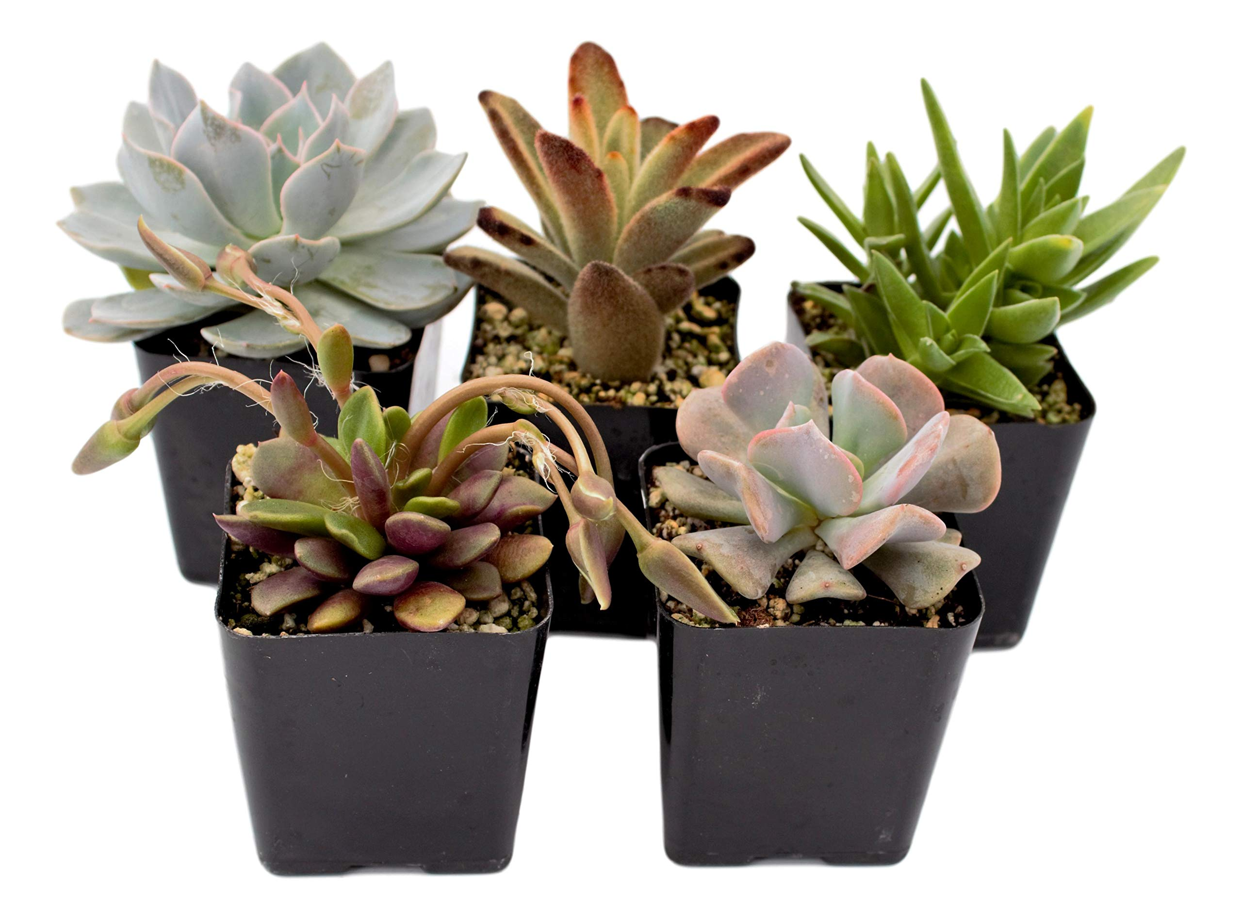 Fat Plants San Diego Premium Succulent Plant Variety Package. Live Indoor Succulents Rooted in Soil in a Plastic Growers Pot (5)