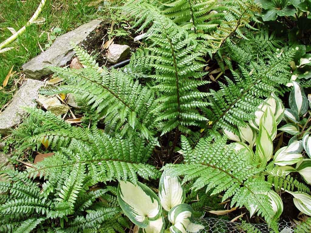 Polystichum 'Makinoi' Fern in a 13cm Pot. Perfect Plants