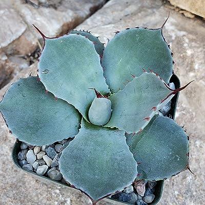 Agave Truncata Live Plant Cacti Succulent #PD01 : Garden & Outdoor